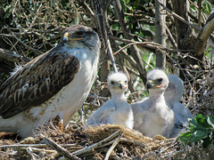 Ferruginous Hawks - now safely grown and gone
