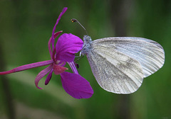 wood white in a willowherb flower