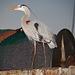 Great Blue Heron (Ardea herodias) - Nikon D750 - AFS Nikkor 28-300mm 1:3.5-5.6G VR