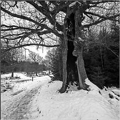 The hollow oak tree - 1 PIP