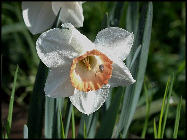Narcisse hybride (1)