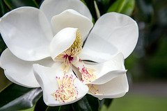 Magnolia in May