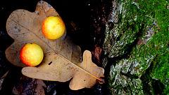 Nutgalls on oak leaf...