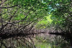 Mangroves in the Alejandro de Humboldt National Park