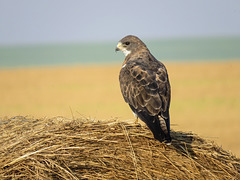 A classic light/intermediate-morph adult Swainson's Hawk