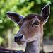 European Fallow Deer