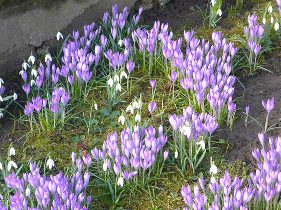 Frühling in violett und weiß - printempo en viola kaj blanka
