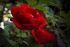 For Lovers of Red Roses