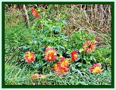 Dahlias in the Grass.