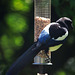 Magpie on a feeder...first time I have seen this