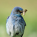 Mountain Bluebird male with insect for his babies
