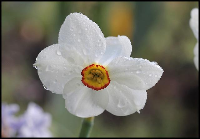 Narcissus poeticus (1)