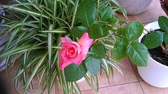 Bela kaj juna rozo...