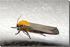 Lithosia quadra mâle