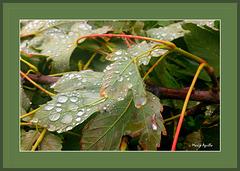 Hojas con gotas de lluvia
