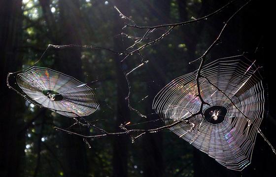 Spinnennetze im Gegenlicht