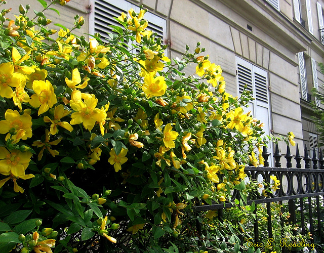St. John's Wort hanging around in Paris
