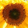 Sunflower in our garden