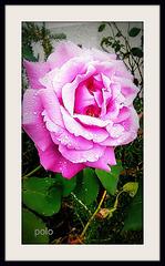 Rosa con algo de lluvia