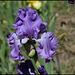 Iris Orchidarium (3)