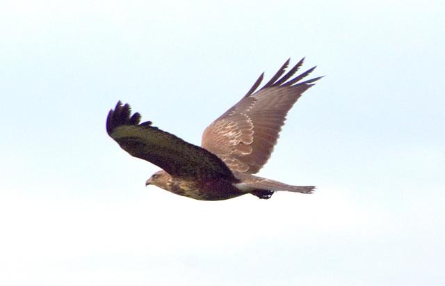 Raubvogel im Flug