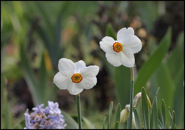Narcissus poeticus (3)