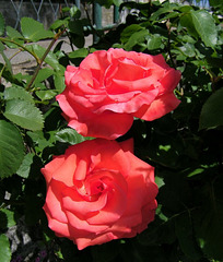 Encore et toujours des roses...