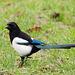 Magpie posing (2)
