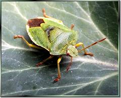 Grüne Stinkwanze (Palomena prasina) ©UdoSm