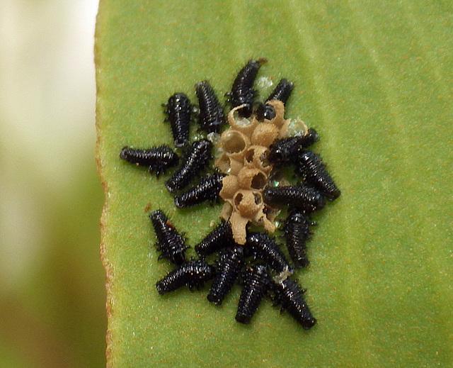 Unidentified Larvae Freshly Hatched