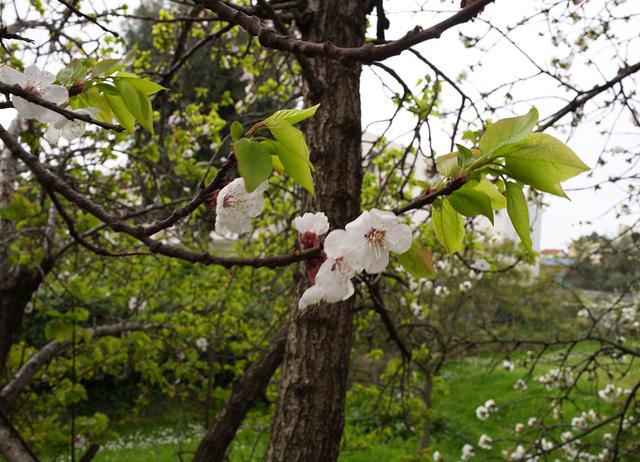 abricotier, cerisier, printemps