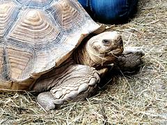 Afrikanische Landschildkröte.  ©UdoSm
