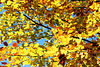 Goldener Oktober - Herbstlaub (PIP)