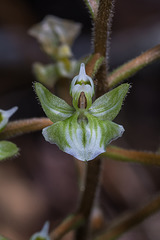 Ponthieva racemosa (Hairy Shadow-witch orchid)