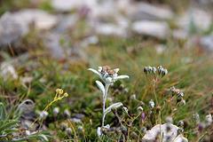 Alpen-Edelweiß Leontopodium - nivale