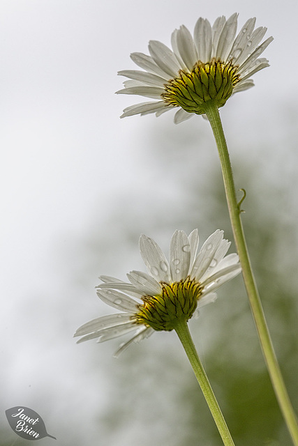 Daisies at L.L. Stub Stewart State Park with Updates and 6 insets! (don't miss them!)