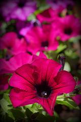 vibrants petunias