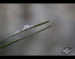 5/366: Pine Needle Topped with Snow