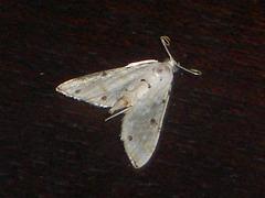 TB036 Pycnarmon levinia - 6757