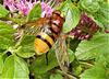Hornet Mimic Hoverfly.