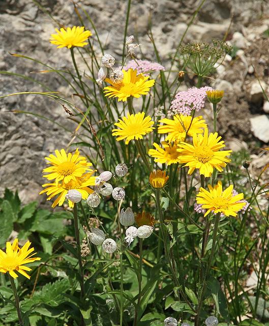 Arnika (Alpenpflanze)