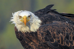 Bald Eagle (29.08.2018)