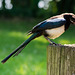 Magpie with its nut