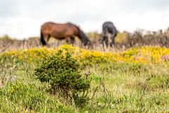 Dartmoor Pferde - 20150831