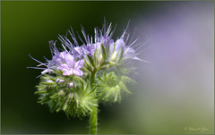 And again a close-up from the Phacelia tanacetifolia... (+PiP)