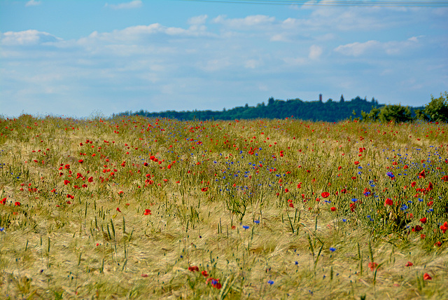 Cornfield with poppies and cornflowers