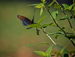A025802dL Swallowtail butterfly