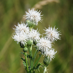 Creeping Thistle / Cirsium arvense, pure white, noxious weed