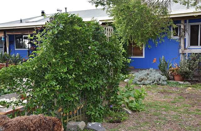 our passionfruit vine
