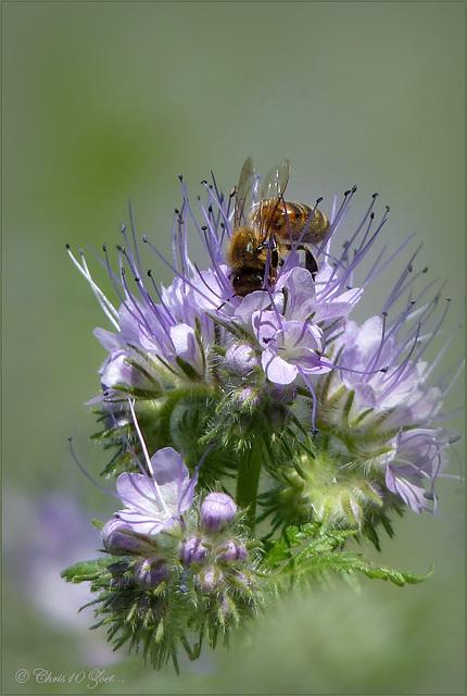 Honingbijtje op Bijenvoer...
